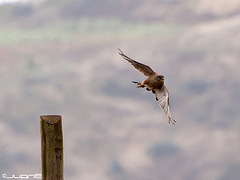 Cernicalo vulgar (falco tinnunculus canariensis)(♂)