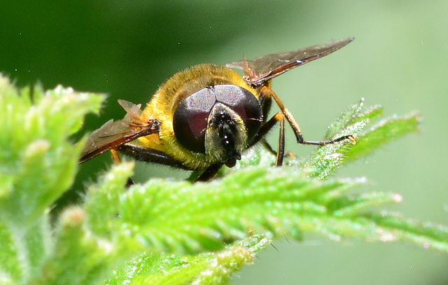 Hoverfly head on!