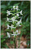 Platanthera bifolia, Weiße Waldhyazinthe