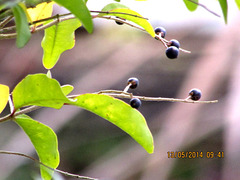 Berries and Leaves