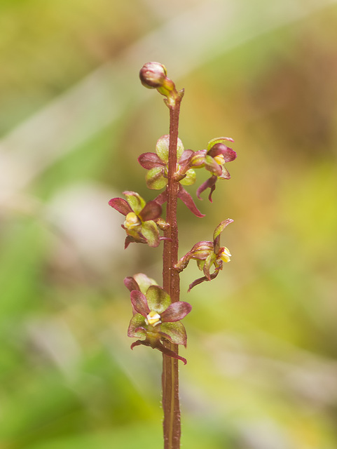 Neottia cordata (Heart-leaf Twayblade orchid)