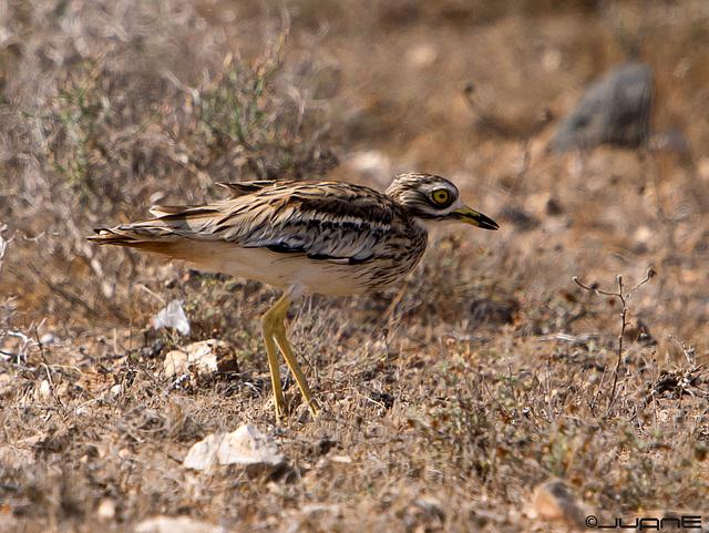 Alcaraván Común (Burhinus oedicnemus) insularum