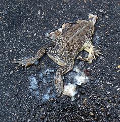 Frog Roadkill in Kansas City (0817)