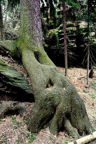 Bäume auf Steinen - arboj sur ŝtonoj