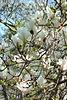magnolio