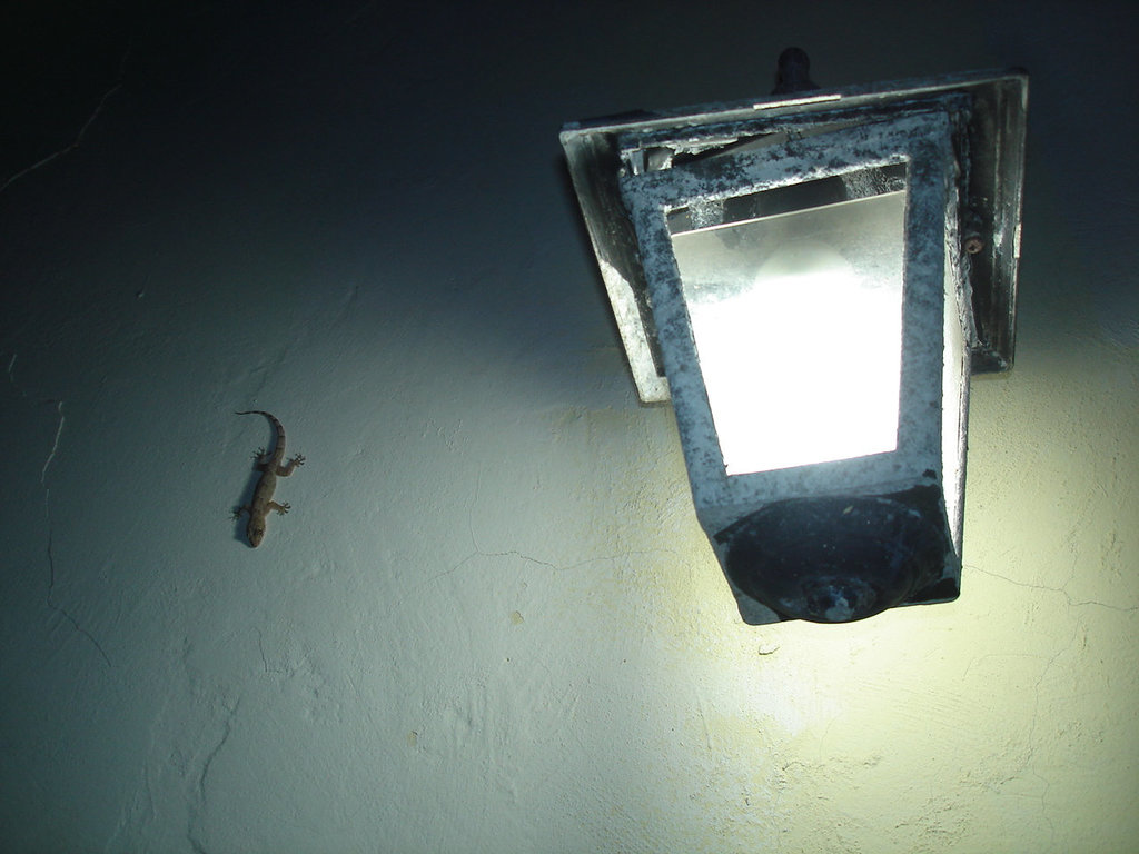 Minuscules lézards cubains /  Minuscule cuban lizards - Varadero, CUBA.  3 février 2010