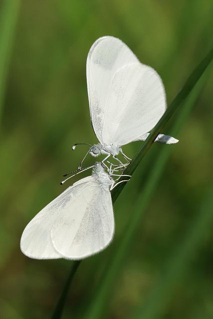 Noeud papillon
