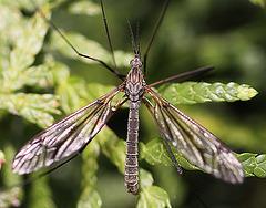 20100509 3081Mw [D~LIP] Riesenschnake (Tipula maxima), Bad Salzuflen