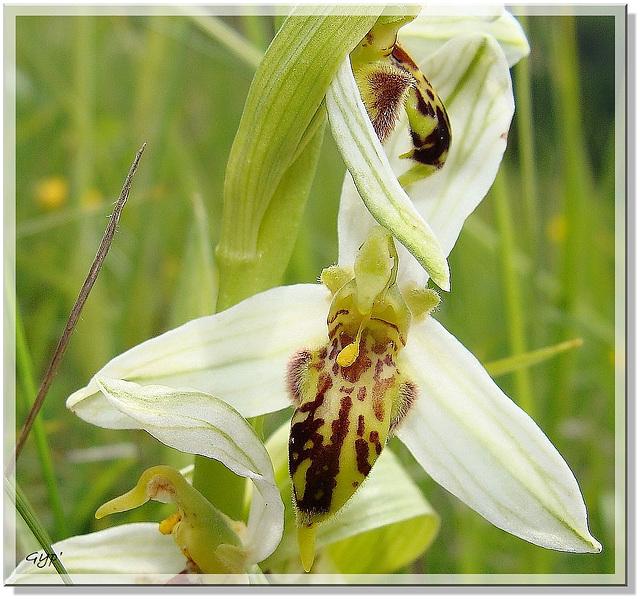 Ophrys apifera variété trollii