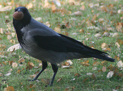 Hooded Crow (Corvus cornix) with Walnut 05