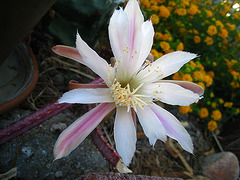 Cactus Flower (5772)