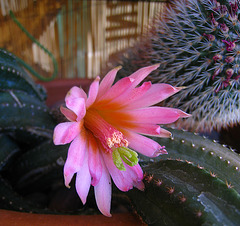 Cactus Flower - First Bloom (5780)