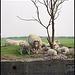Sheep ..