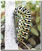 Machaon : chenille en pré-nymphose.
