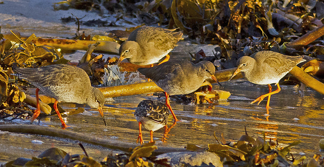 Four Redshanks and a Turnstone