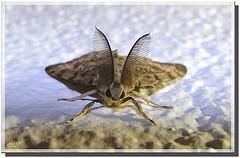 Lymantria dispar mâle
