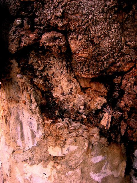 A-dos-Ruivos, old ash tree (3)