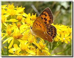 Lycaena virgaureae montanus - femelle.