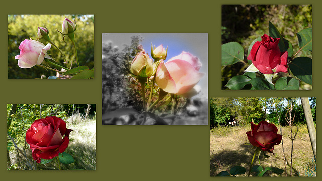 des roses pour tous mes amis