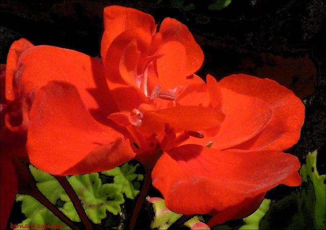 Sans doute la dernière fleur de géranium de l'année