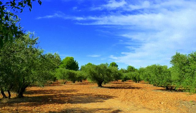 Les champs d'oliviers sont prêts pour la cueillette