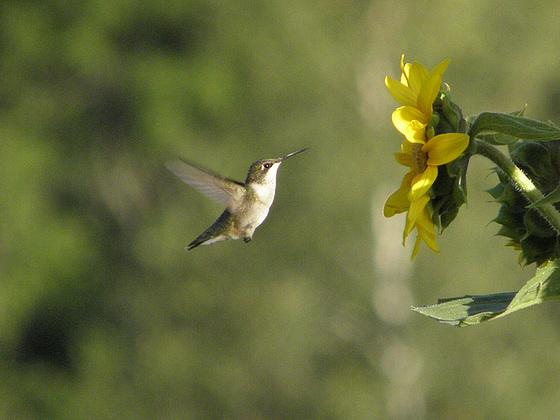 colibri en action