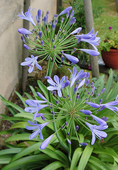 Cezar: Mia blua floro