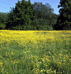 Sea of buttercups