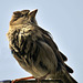 Female Sparrow (Passer domesticus).
