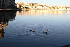 Deux canards faisaient des ronds dans l'eau ...
