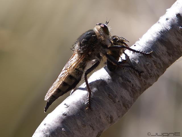 Singue (Promachus latitarsatus)