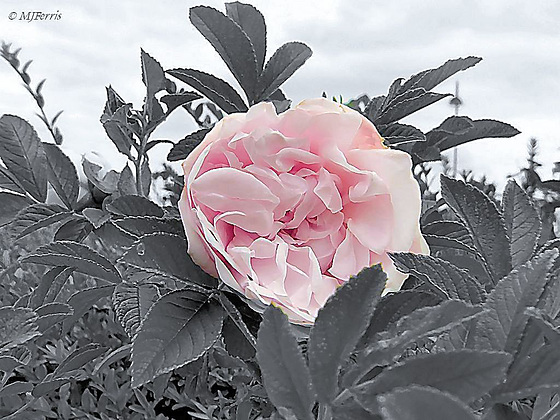 06 pink rose in a grey world