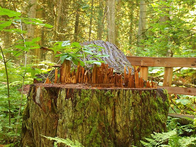 Rain forest tree stump.