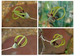Ceropegia armandii flower