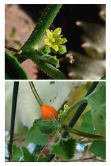 Corallocarpus - Flower and fruit