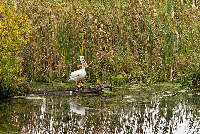 Pelican Blanc d'Amerique