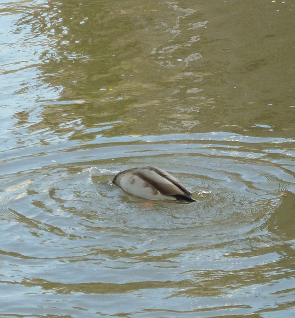 canard sur l'Aude 010