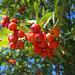 fruits du sorbier des oiseaux