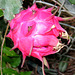 Red seed pod after the elegant Night Blooming Cereus cactus blooms..
