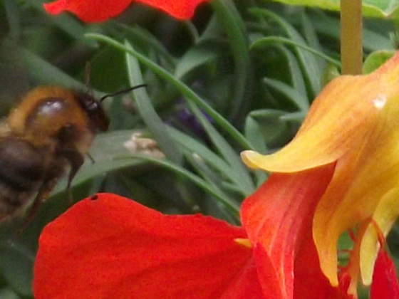 Bee closing in on the flower