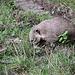 20100902 7780Aaw Nasenbär (Nasua nasua)