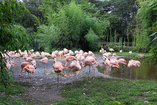 20100902 7783Aw [D~ST] Chile-Flamingo (Phenicopterus chilensis), Rheine