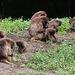 20100902 7786Aaw Blubrustpavian [Dschelada] (Theropithecus gelada)