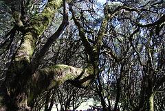 Bosque del Parque natural de Gomera. Islas Canarias