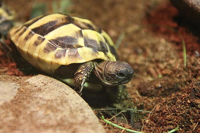 20100902 7948Aaw Griechische Landschildkröte (Testudo hermanni)