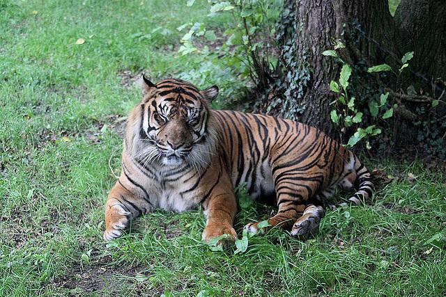 20100902 7953Aaw Sumatra-Tiger