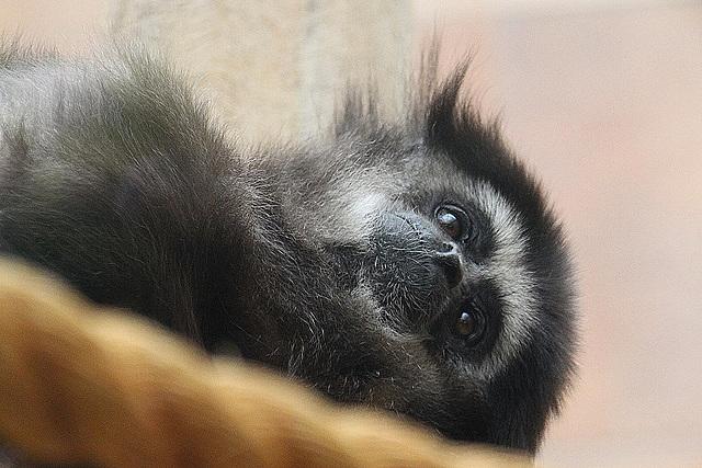 20100902 7955Aaw Weißhand-Gibbon (Lar)