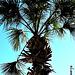 Sabal palm..
