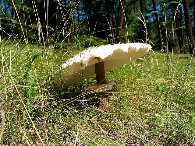 Parasolpilz  - Riesenschirmpilz