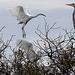 Grandes Aigrettes avec Héron sur un arbre perchées
